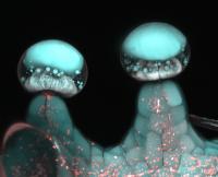 Multi-Photon Microscopy Image of Stalked Glandular Trichome