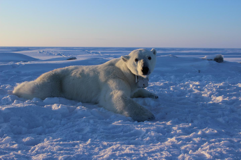 Polar Bear Collar