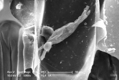 Powdery Mildew Penetrates the Barley Cell