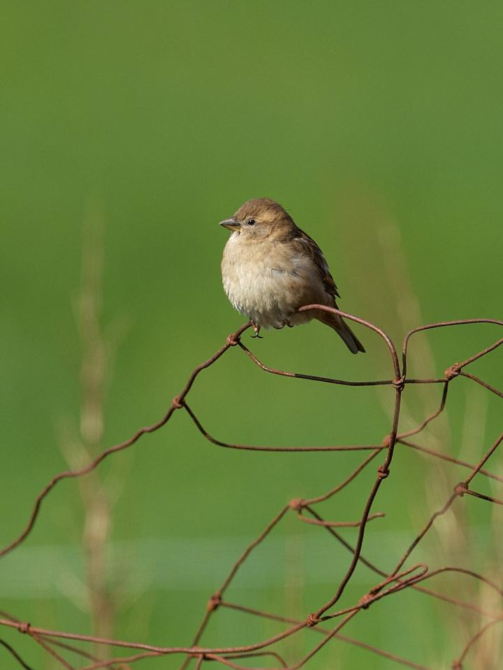 House Sparrows Punch above Their Weight when It Comes to Field Studies