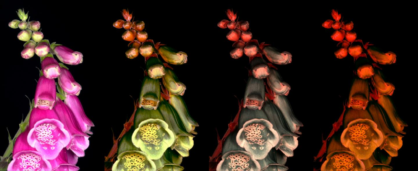 A photo of a foxglove calibrated to different visual systems