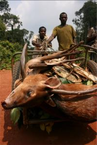 Bushmeat Hunting Drives Biodiversity Declines in Central Africa