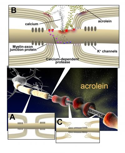 How Acrolein May Damage Nerve Insulation