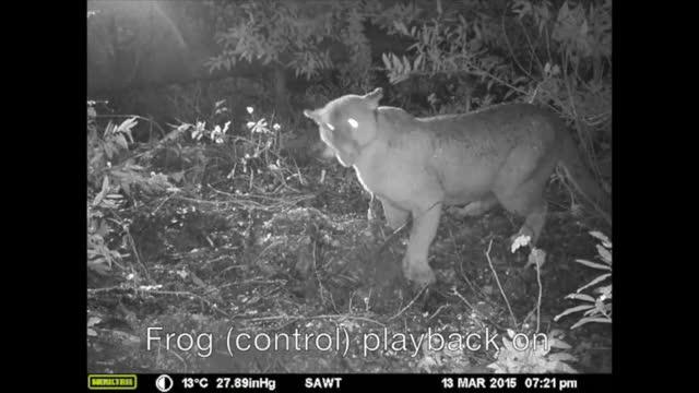 Pumas Flee when They Hear Human Voices