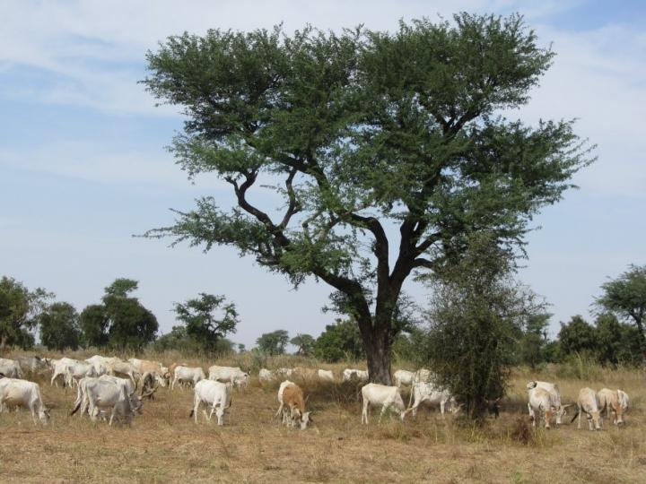 Unexpectedly Large Number of Trees Populate the Western Sahara and the Sahel