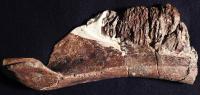 <em>Aquilarhinus Palimentus</em> Bone