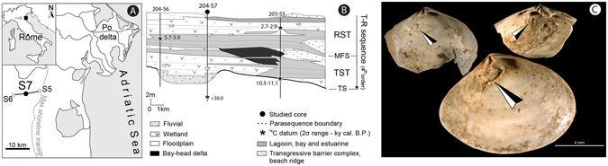 Figure 1  Images of Parasitized Abra Segmentum Valves