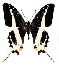 Natewa Swallowtail (<i>Papilio natewa</i>) (2 of 2)