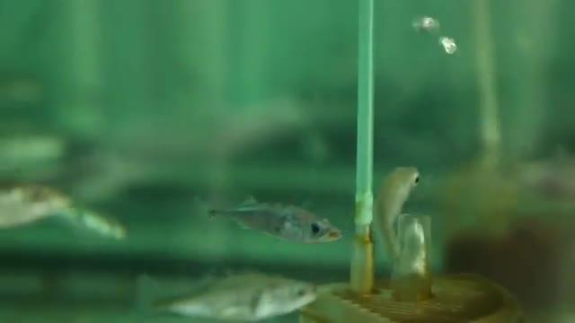 Fish Evolution on Short Timescale