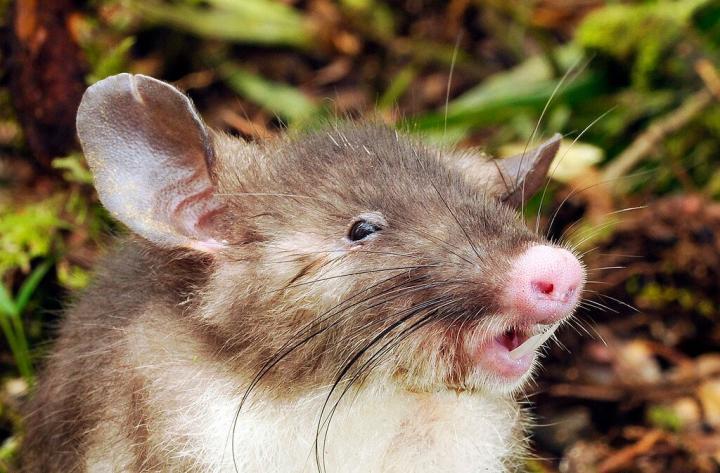 Hog-nosed Rat