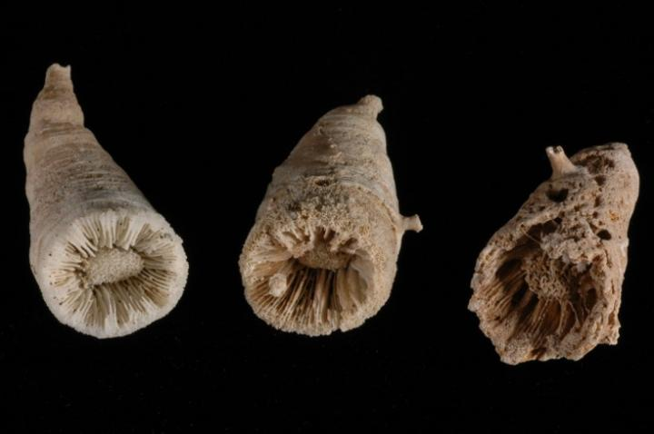 Image of fossil remains of deep sea corals