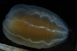 A comb jelly of the genus Beroe