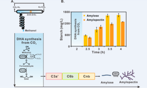 image:Starch synthesis via artificial starch anabolic pathway (ASAP) from carbon dioxide.                   view more  Chinese scientists