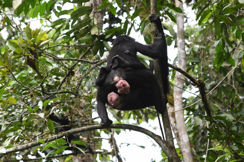 Female Bonobos