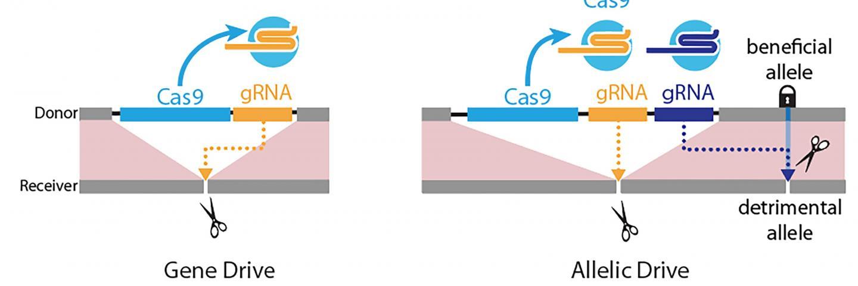 Gene-Drive Versus Allelic Drive