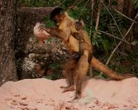 Capuchin Using Tools