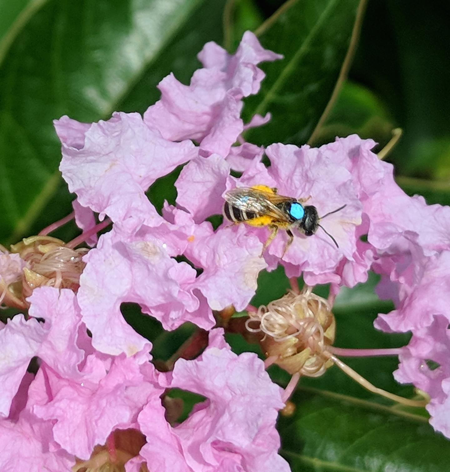 Sweat Bee on Flower