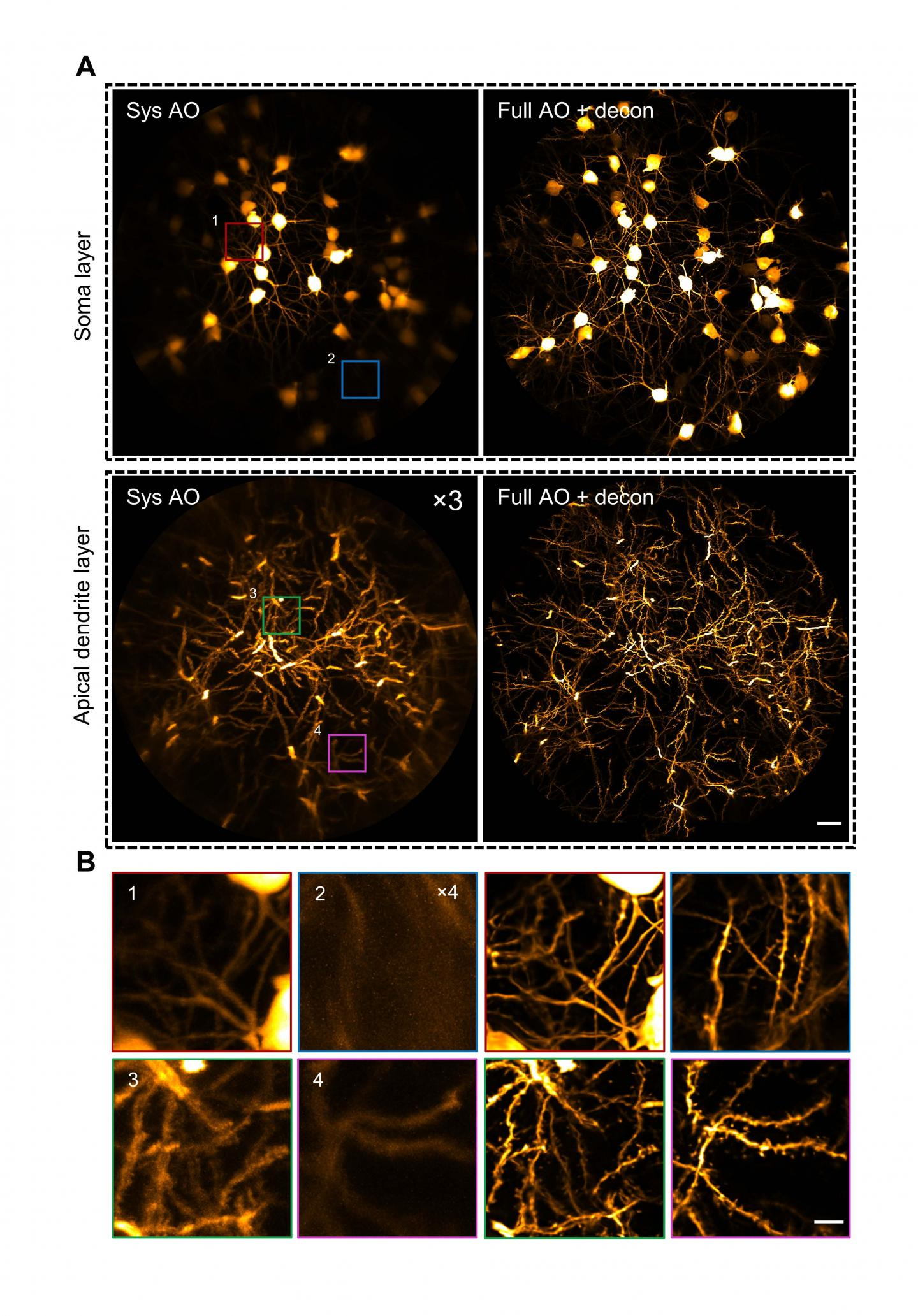 AO two-photon endomicroscope enables in vivo imaging of the mouse hippocampus at synaptic resolution over a large FOV