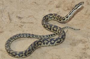 Nujiang pit viper