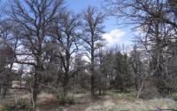 Drought Pinon Trees