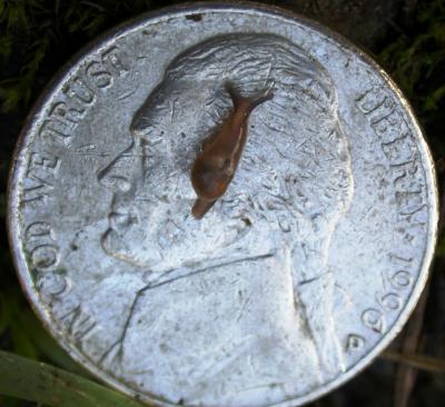 Juvenile Parmaion cf. martensi Semi-Slug on a Nickel