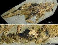 Psittacosaurus specimen