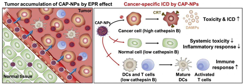 Schematic Illustration of Preferential Immune Responses