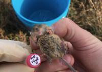 Salt marsh harvest mouse belly ID