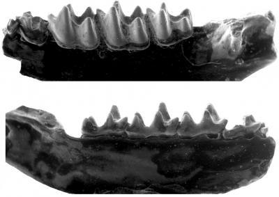 Fossilized Bat Teeth