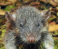 New Root Rat