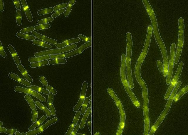 Bacterial Toxin Stops Cell Division