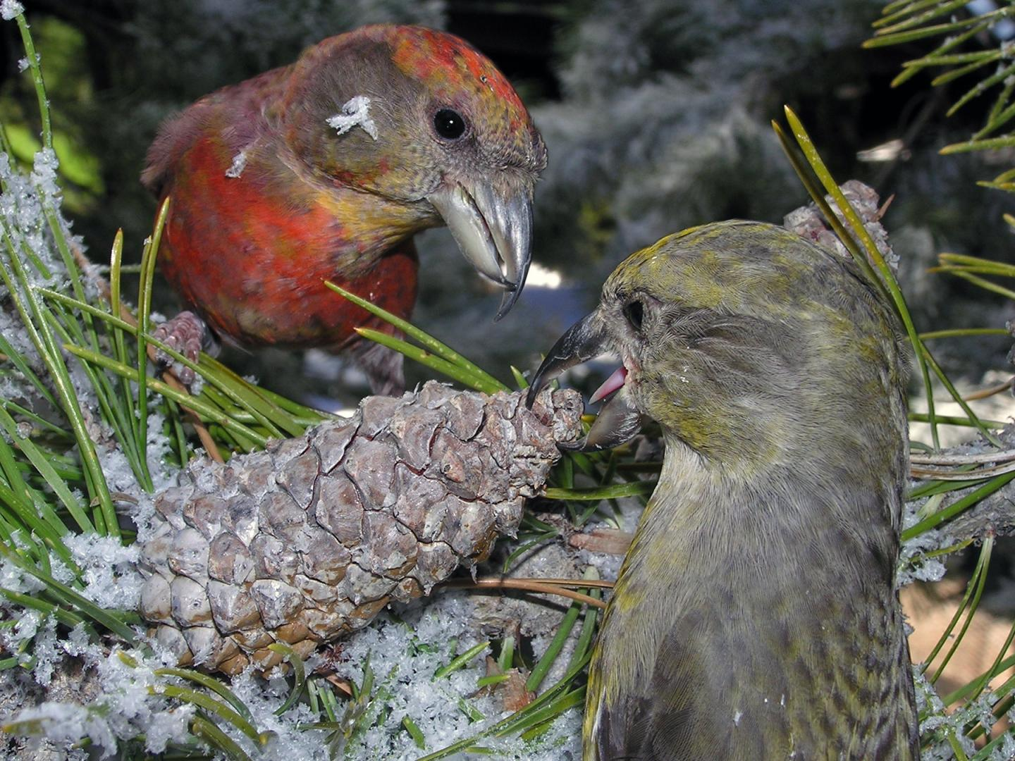 South Hills Crossbill Coevolves with Rocky Mountain Lodgepole Pine