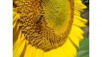 Insect pollinating sunflower.