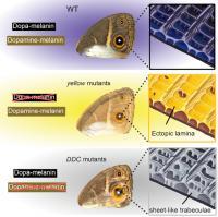 Mutations In Butterfly Pigment Genes