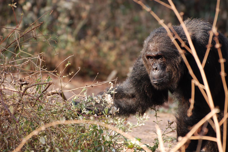 Aggressive Male Chimpanzee