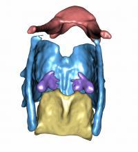 3D Image of a Gorilla Larynx
