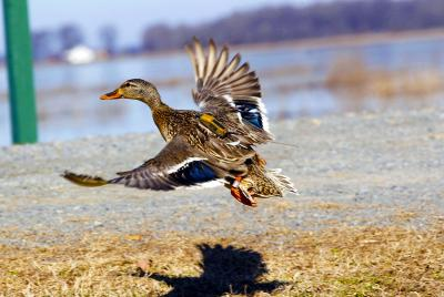 Duck Tracking 1