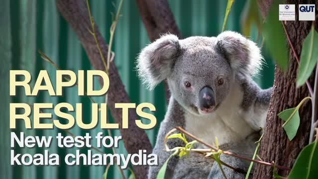 New Koala Chlamydia Test