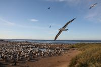 Black Browed Albatross Nesting Site