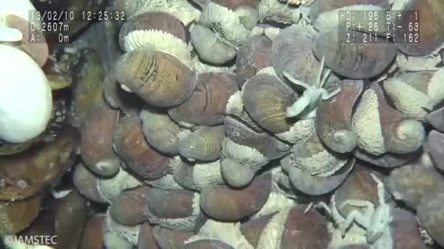 Sampling of Scaly-foot Snail