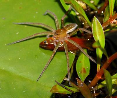 Fishing Spider Captured Fish