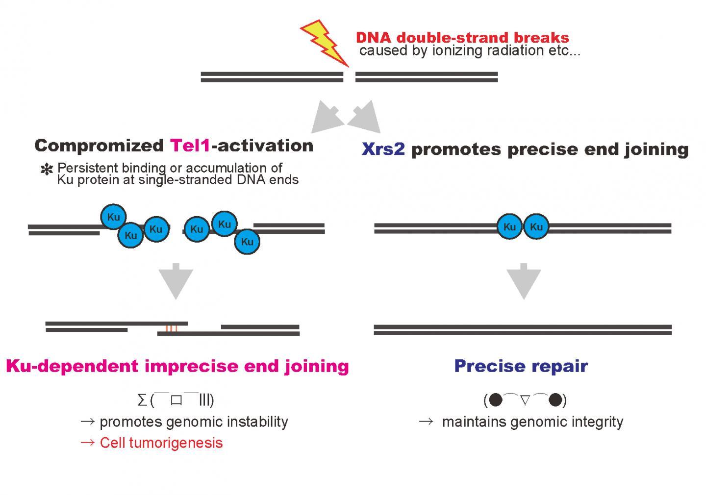 DNA Double-Strand Breaks