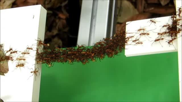 Ant Bridge in Use
