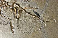 Archaeopteryx Fossil with Reconstructed Feather