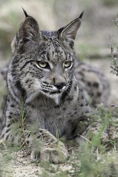 Iberian Lynx -- Laying Down