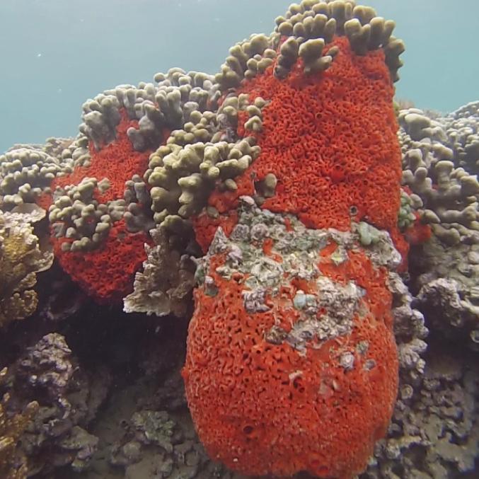 Sponge Growing on Coral