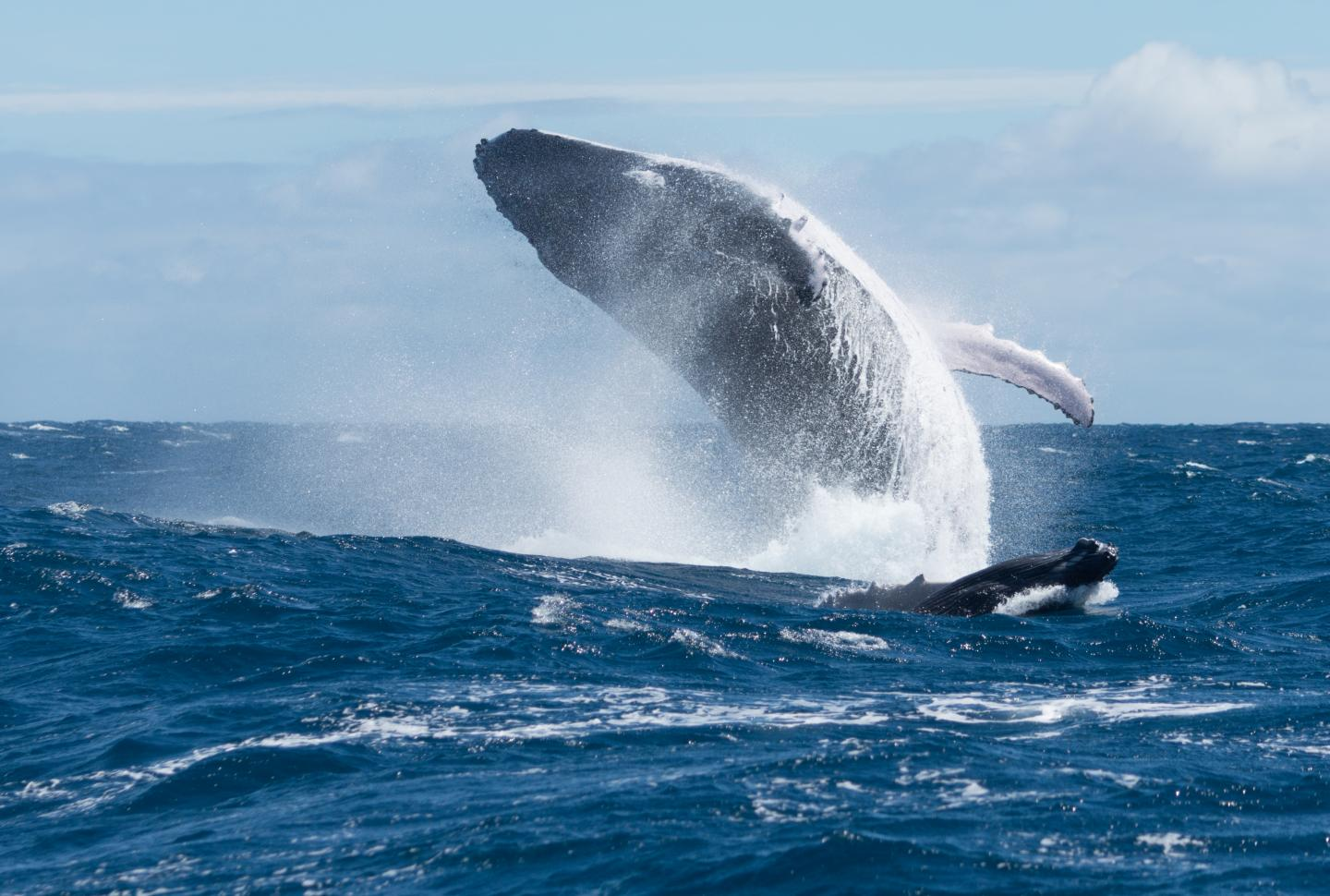 UB Researchers Says Humpback Whales Use Song for Echolocation