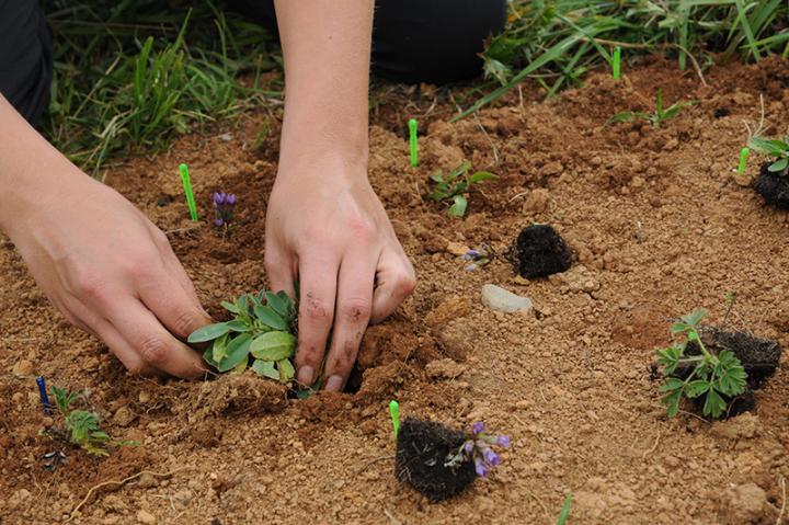 Replanting Alpine Flora