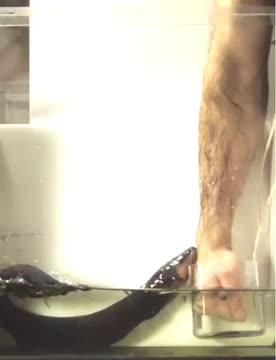 Electric Eel's Power Transfer to a Human