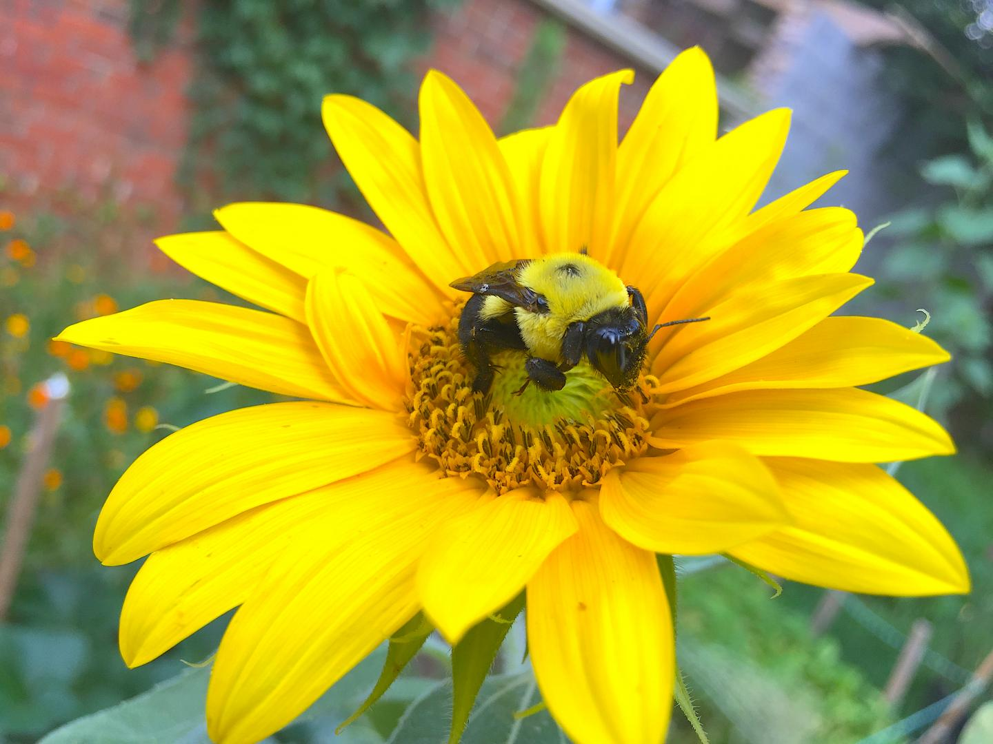 A Queen Bumble Bee on a Sunflower